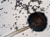 Aspergillus niger head