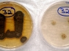 Aspergillus penicillioides culture
