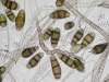 Curvularia spores