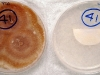 Fusarium sporotrichioides culture