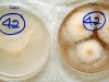 Fusarium verticillioides culture