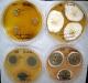 Penicillium cyclopium culture