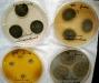 Penicillium melanoconidium culture