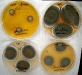 Penicillium polonicum culture