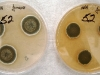 Penicillium variabile culture