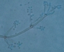 tritirachium spores
